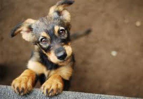 Adoptuj Psa